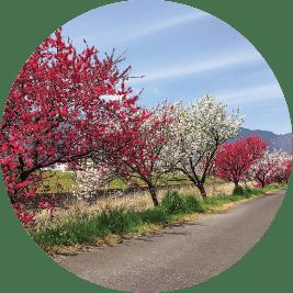 Hanamomo Kaido (Peach Blossom Lane)