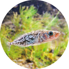 Hariyo smallhead stickleback