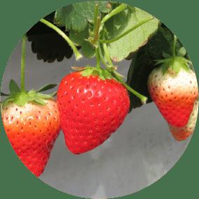 Strawberries : Mino Musume and Nohime